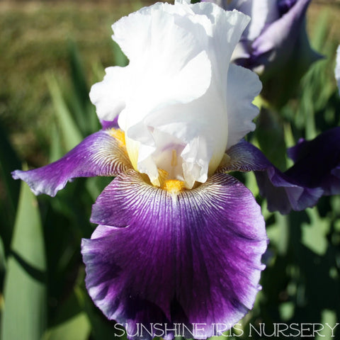 Knighted - Tall Bearded Iris