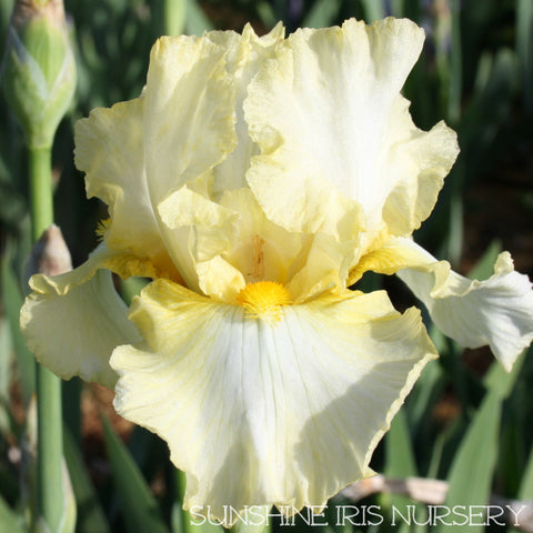 Koala - Tall Bearded Iris