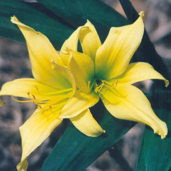 Lime Painted Lady - Spider Daylily