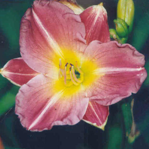 Linda Guidry - Large Daylily
