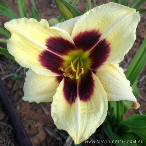 Little Gypsy Vagabond - Miniature Daylily