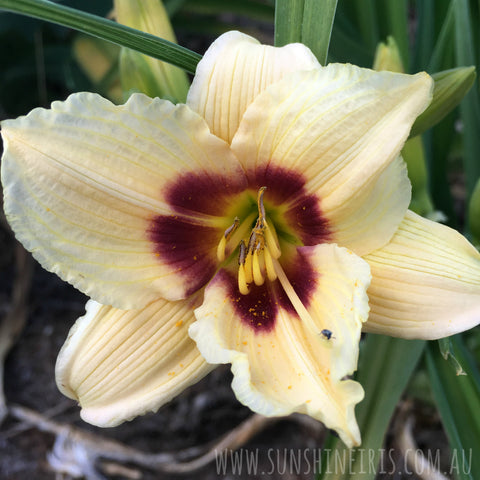 Little Tinkerbelle - Miniature Daylily