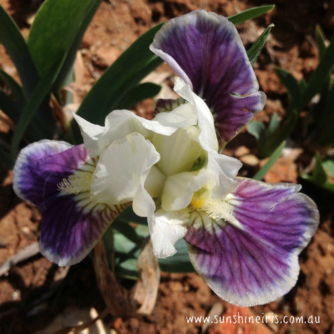 Making Eyes - Dwarf Bearded Iris