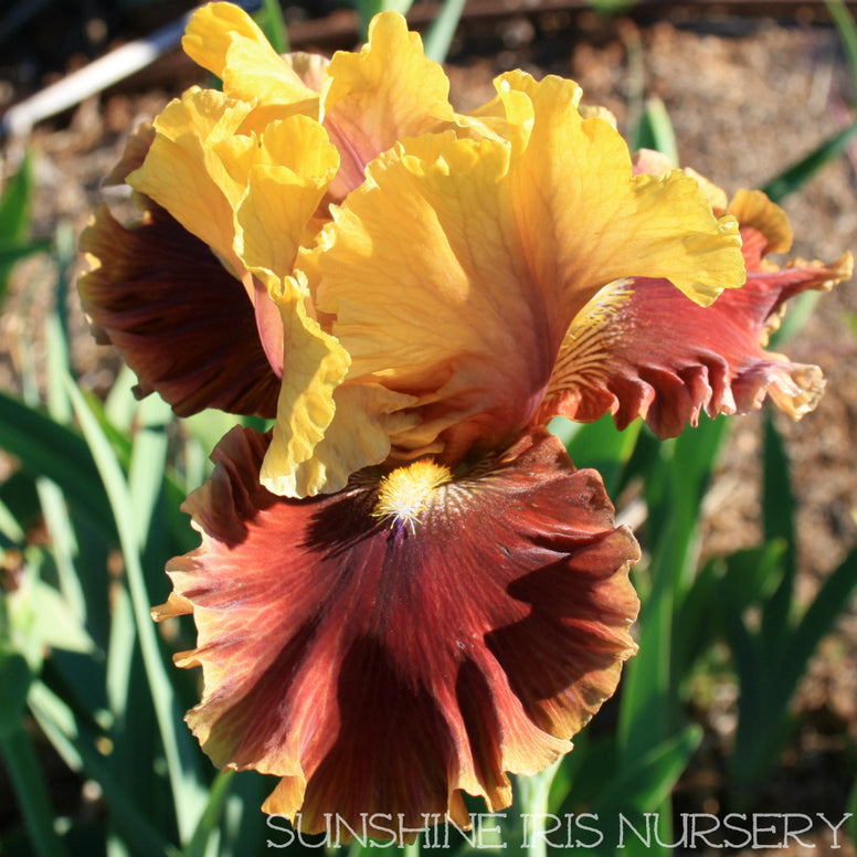 Man About Town - Tall Bearded Iris