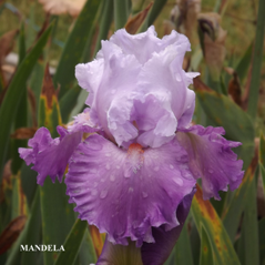 Mandela - Tall Bearded Iris