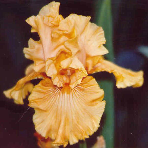 Mango Entree - Tall Bearded Iris