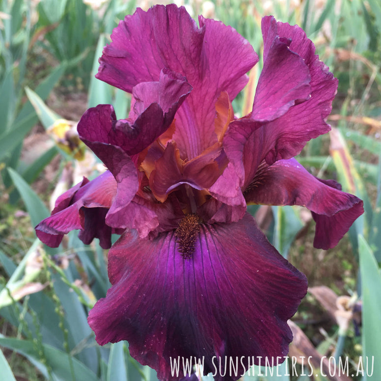 Merlot - Tall Bearded Iris