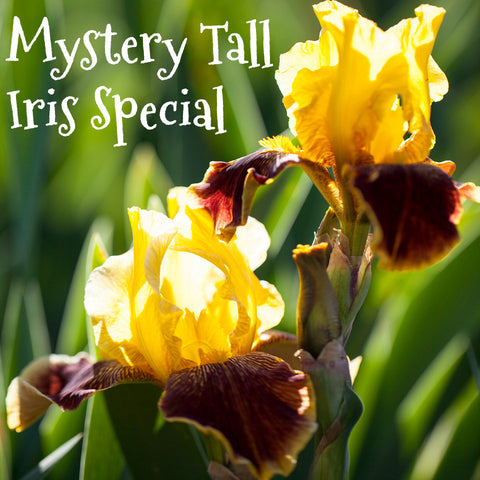 Mystery Tall Iris Special