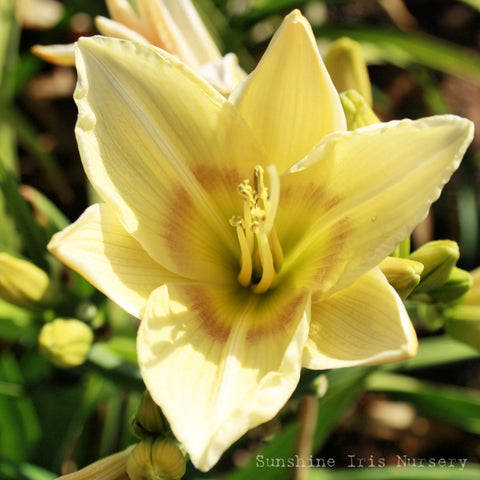 Oh Perfect Love - Large Daylily