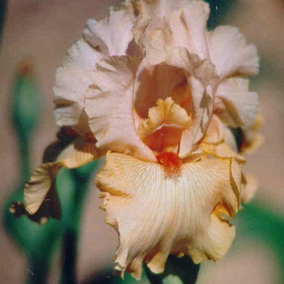 Pacific Peach - Tall Bearded Iris