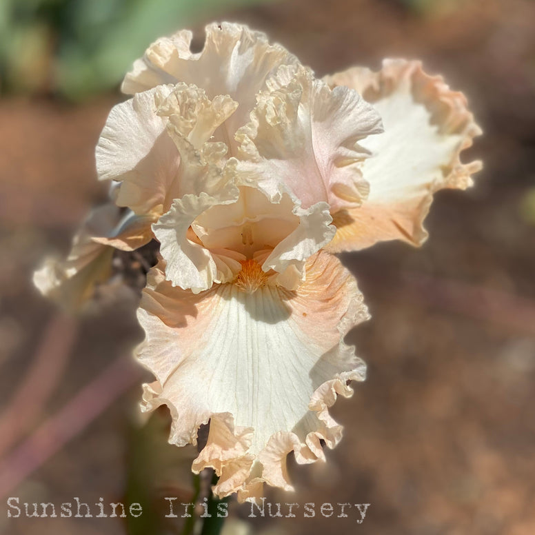 Peaches and Dreams - Tall Bearded Iris