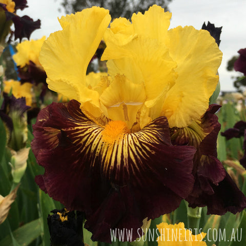 Pirate Ahoy - Tall Bearded Iris
