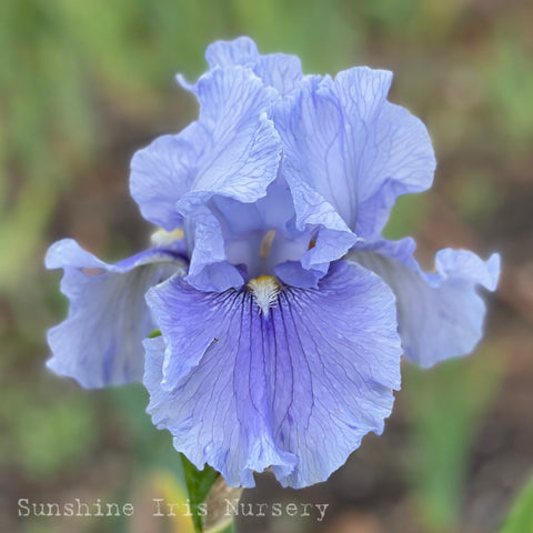Plateau - Tall Bearded Iris