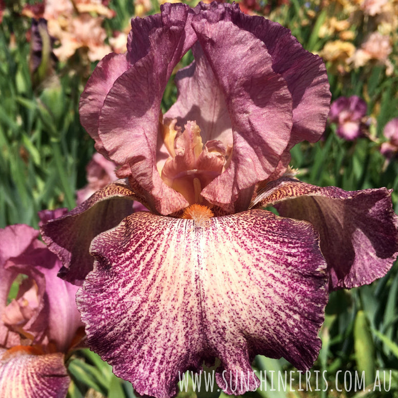 Porta Villa - Tall Bearded Iris