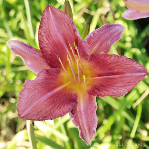 Quality Belle - Large Daylily
