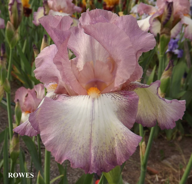 Rowes - Tall Bearded Iris