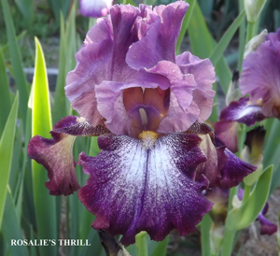 Rosalie's Thrill - Tall Bearded Iris
