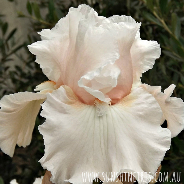 Society Page - Tall Bearded Iris