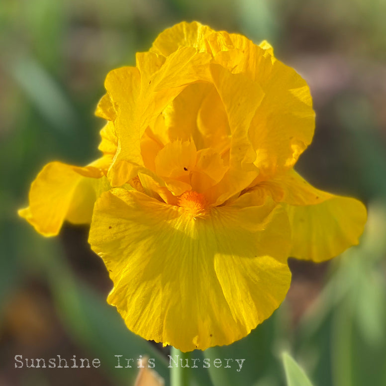 Saffron Flame - Tall Bearded Iris
