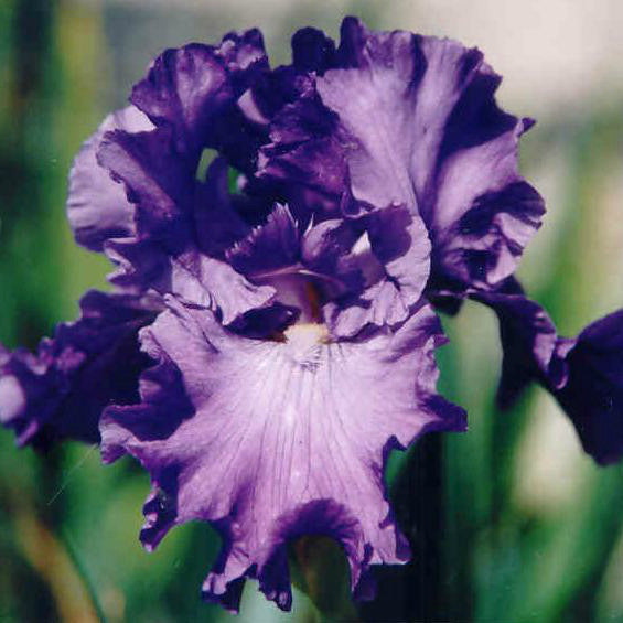 Serene Sea - Tall Bearded Iris