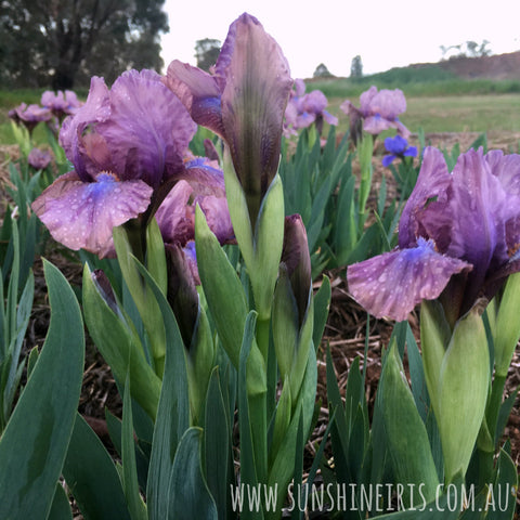 Smoky Pieces - Dwarf Bearded Iris