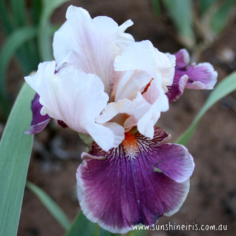 Strawberry Swirl - Tall Bearded Iris