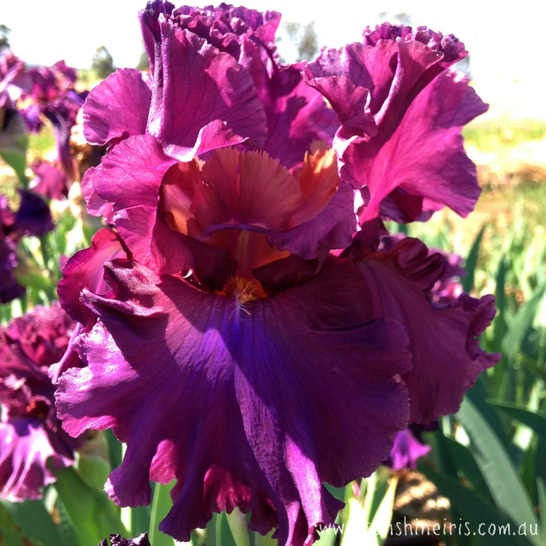Thundermaker - Tall Bearded Iris