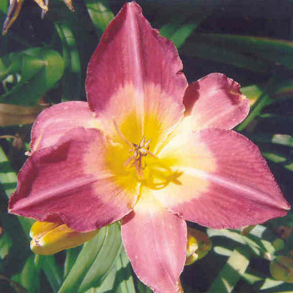 Time Lord - Large Daylily