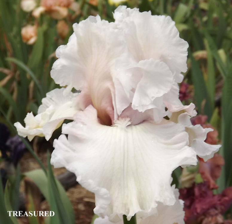 Treasured - Tall Bearded Iris