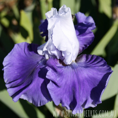 Triple Delight - Tall Bearded Iris