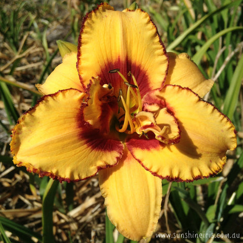 Two Part Harmony - Double Daylily