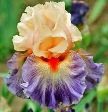 Undercurrent - Tall Bearded Iris