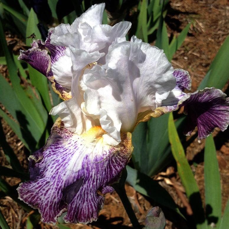 Vapor - Tall Bearded Iris