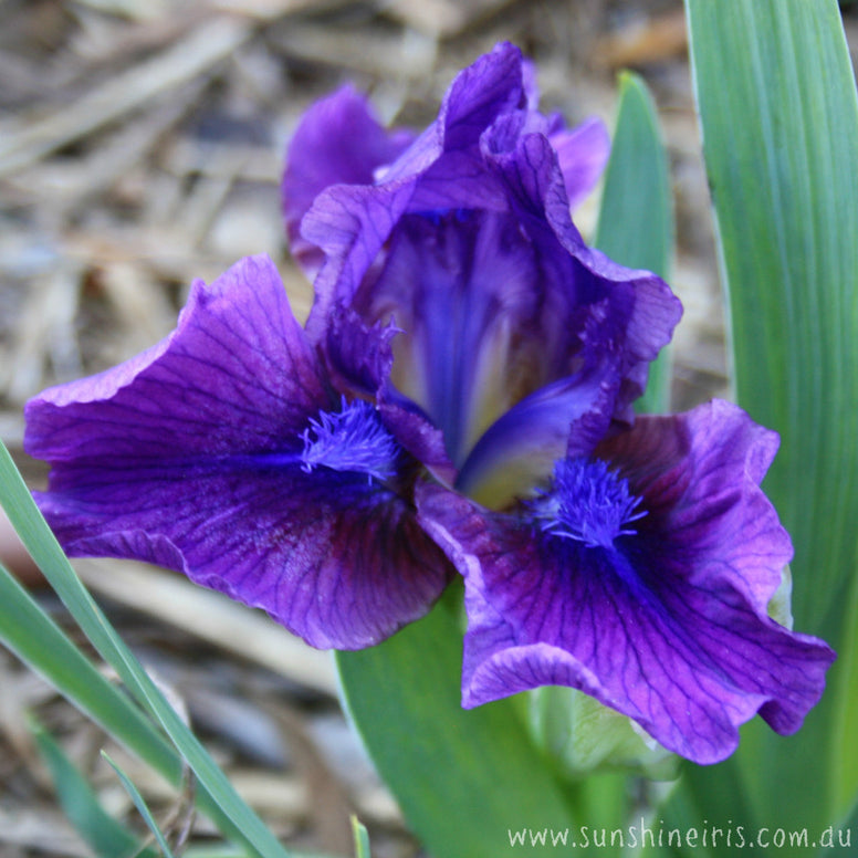 Wild Ruby - Dwarf Bearded Iris