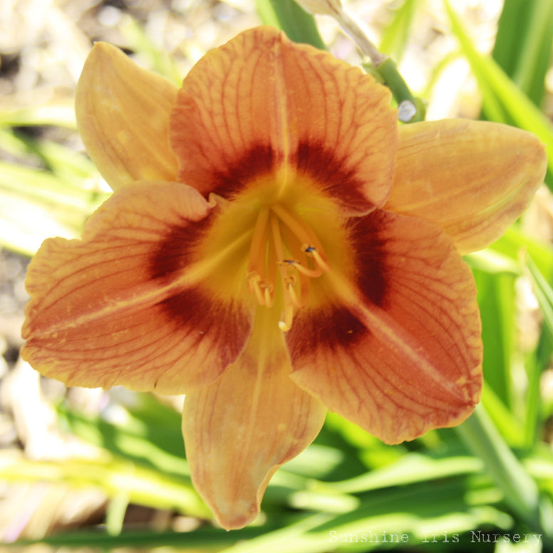 Gingerbread Man - Large Daylily