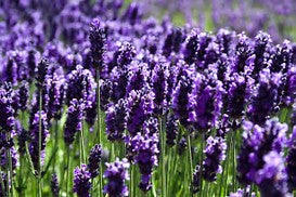 Ingredient Spotlight: Lavender