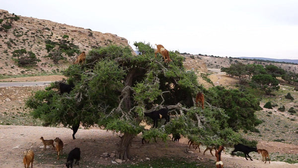 Pigs may or may not fly, but goats really do climb trees!
