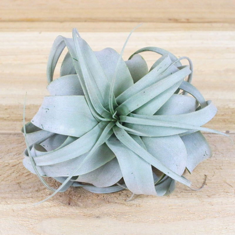 Air Plants - Tillandsia Xerographica