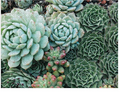 Succulent Garden Puzzle - Double sided