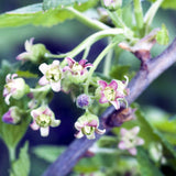 Nostara Luxury Home Fragrance Blackcurrant buds image