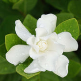 Nostara Luxury Home Fragrance white gardenia flower image