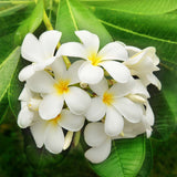 Nostara Luxury Home Fragrance Jasmine flower image