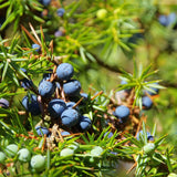 Nostara Luxury Home Fragrance Juniper Berries Image
