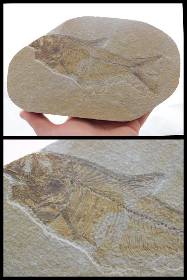 Fossilized Fish - Moroccan Village