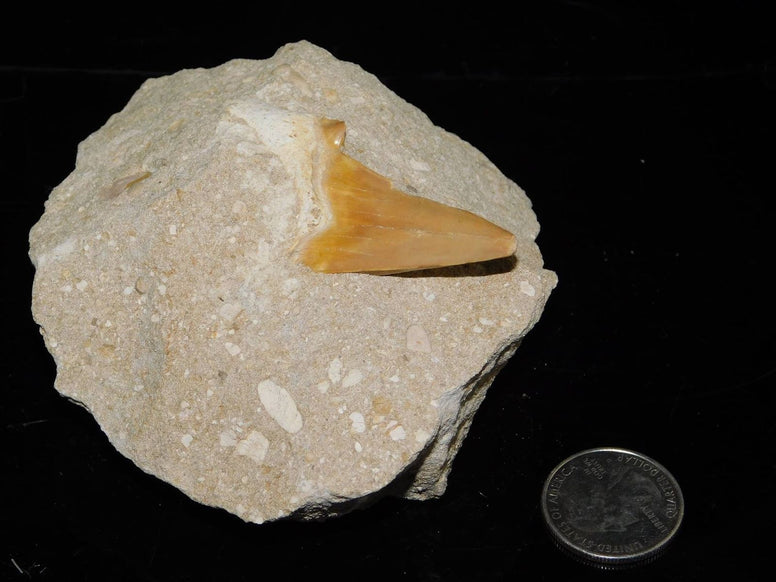 Otodus Fossilized Shark Tooth in Matrix - Moroccan Village