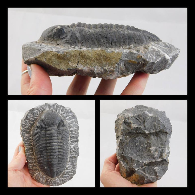 Trilobite Fossil in Matrix