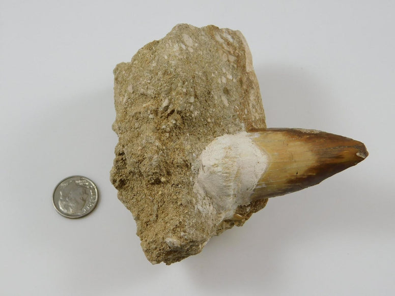 Otodus Fossilized Shark Tooth in Matrix