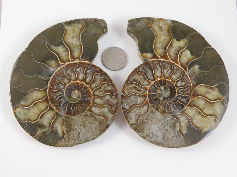 Ammonite Fossilized Halves - Moroccan Village