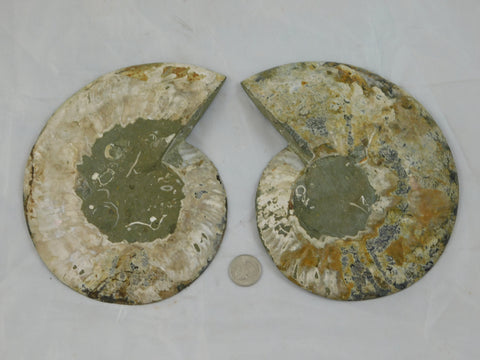 Fossilized Ammonite Halves - Moroccan Village