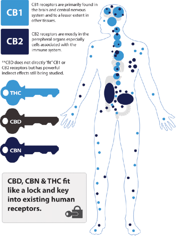About cbd and how it works